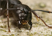 Residential, Home Carpenter Ant Protection, Exterminator
